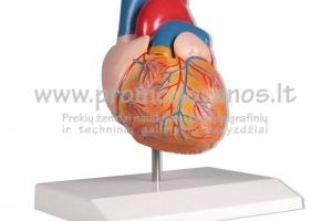 Anatominiai modeliai, muliažai
